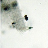 Panaeolus cambodginiensis image