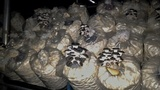 Pleurotus cystidiosus image