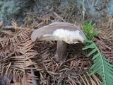 Image of Rhodocollybia meridana