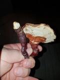 Ganoderma capense image