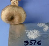 Clitocybe subditopoda image