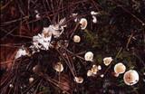 Phellodon tomentosus image
