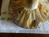Russula graveolens image