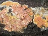 Leucogyrophana mollusca image