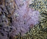 Ceriporia aurantiocarnescens image