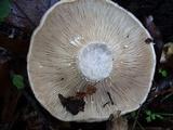 Lactarius argillaceifolius var. megacarpus image