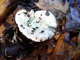 Russula maculata image