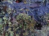 Cladonia verruculosa image