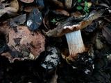 Cortinarius regalis image