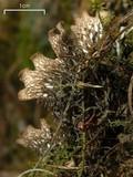 Peltigera polydactylon image