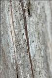 Calicium glaucellum image