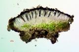 Rinodina laevigata image