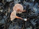 Lactarius nitidus image