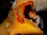 Hypomyces aurantius image