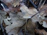 Mycena filopes image