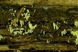 Mucronella calva image