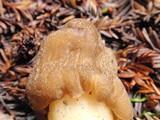 Verpa conica image
