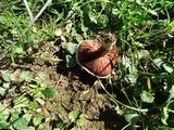 Agaricus incultorum image