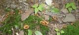 Coltricia cinnamomea image
