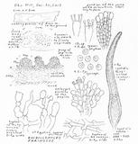 Bulbillomyces farinosus image