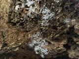 Sistotrema coroniferum image