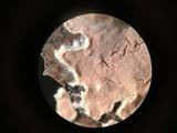 Corticium lombardiae image