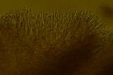 Schizopora flavipora image
