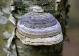 Fomes excavatus image