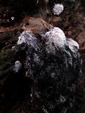 Polycephalomyces tomentosus image