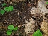 Geoglossum difforme image