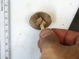 Agaricus leptocaulis image