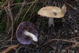 Tricholosporum porphyrophyllum image