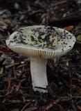 Russula macrocystidiata image