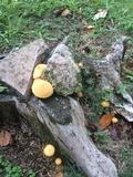 Gymnopilus chrysopellus image