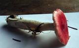 Russula griseascens image