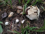 Lycoperdon marginatum image