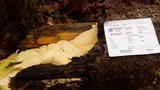 Oxyporus corticola image