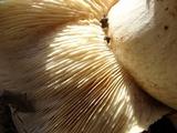 Tricholoma ustale image