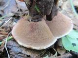 Hydnellum spongiosipes image