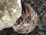Amauroderma boleticeum image