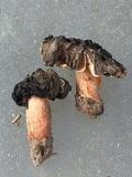 Morchella populiphila image
