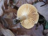 Cuphophyllus pratensis image
