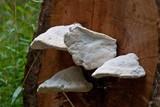 Laetiporus portentosus image