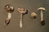Amanita calyptratoides image