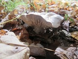 Tricholoma acris image