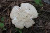 Amanita roseitincta image