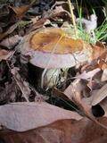 Hygrophorus glutinosus image