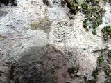 Caloplaca demissa image