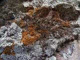 Caloplaca ignea image
