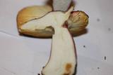 Russula sardonia image